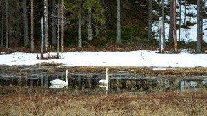Лебеди в нашем озере в Финляндии