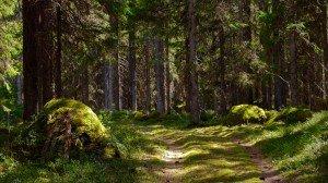 Окрестный лес в Финляндии