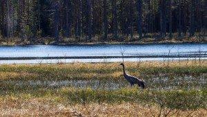 Журавли в окрестностях в Финляндии