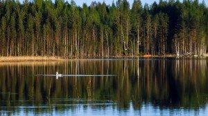 Чайки в нашем озере в Финляндии