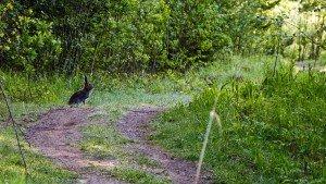 Зайцы на территории в Финляндии